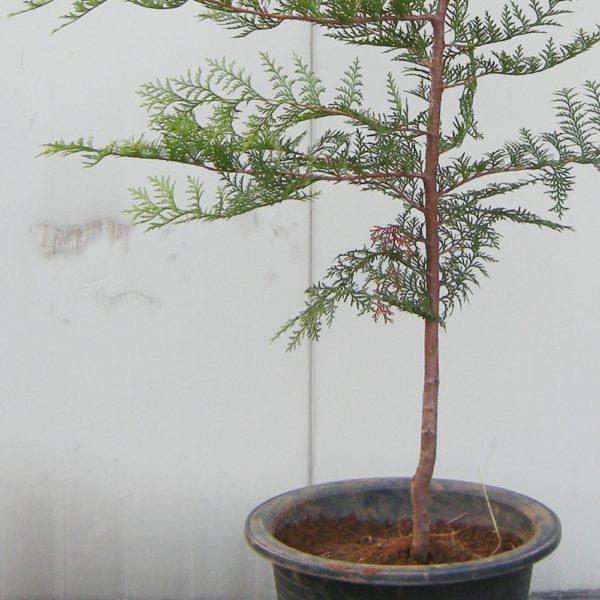 편백나무묘목