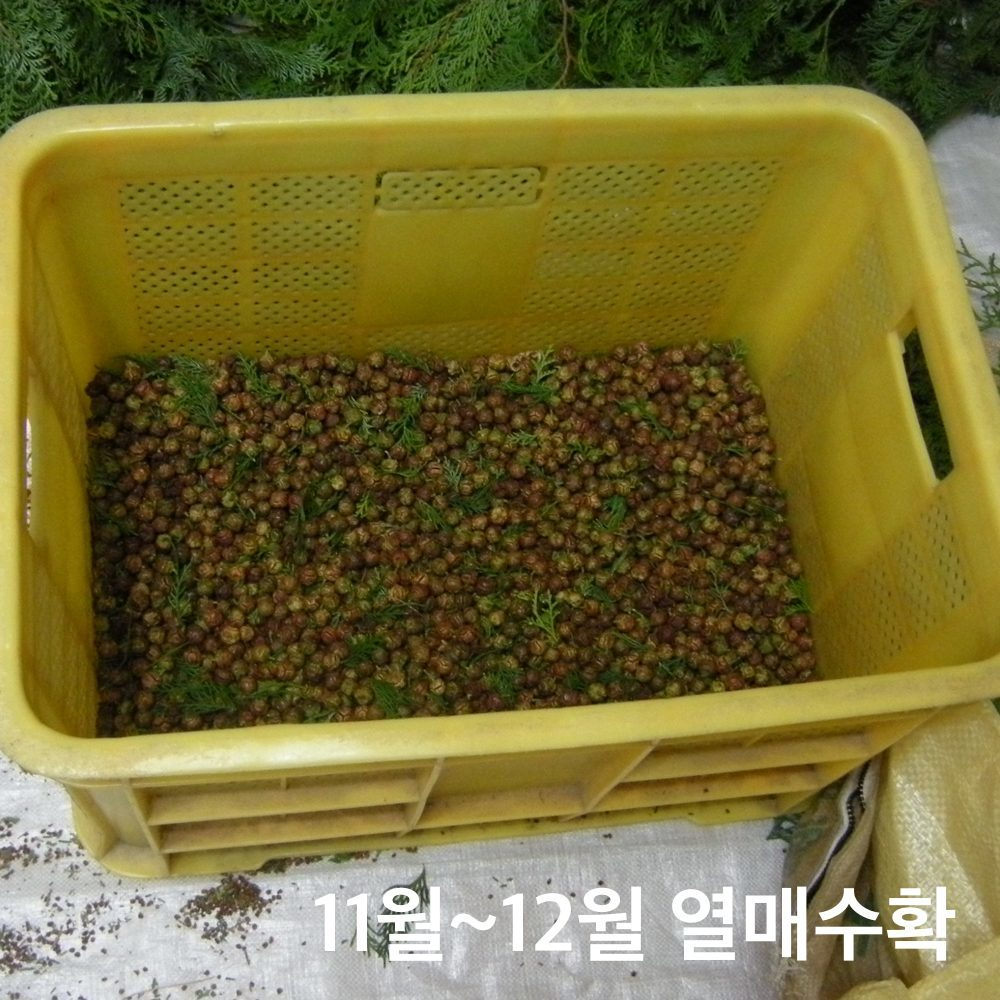 편백나무열매수확