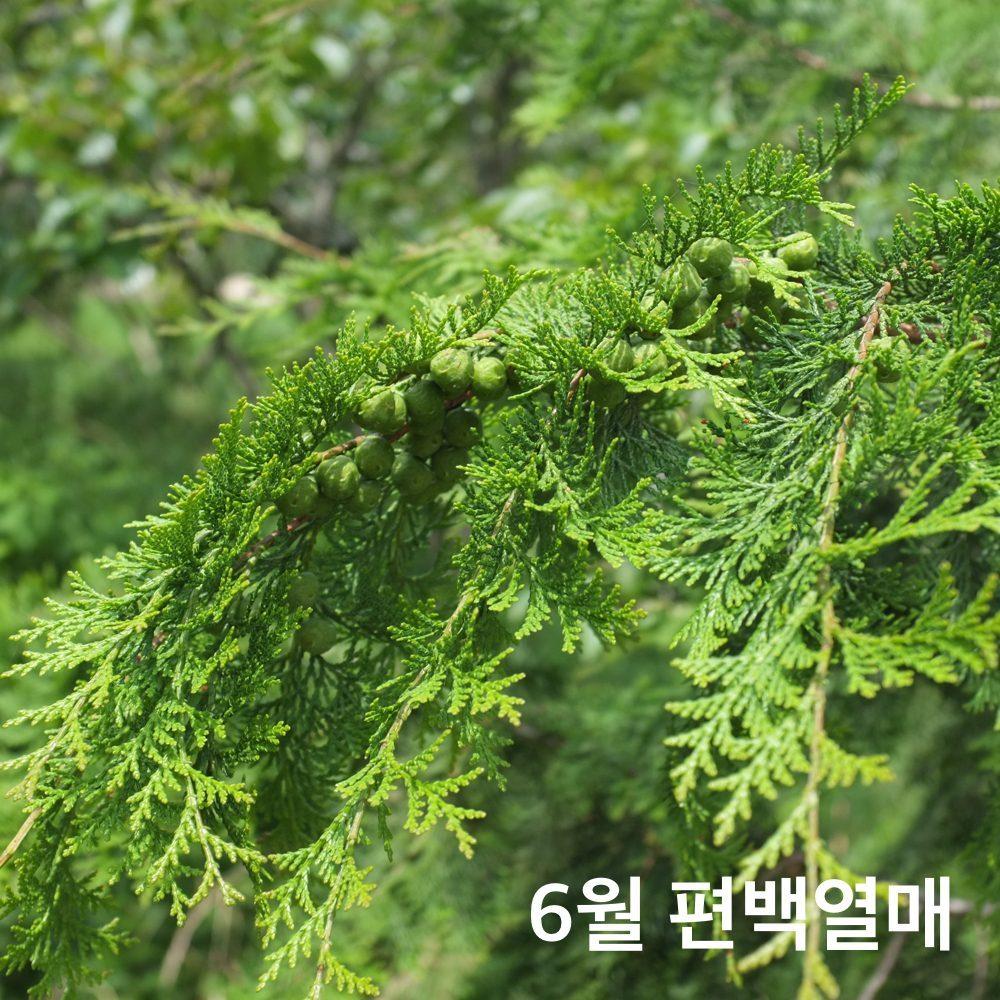 편백나무열매6월